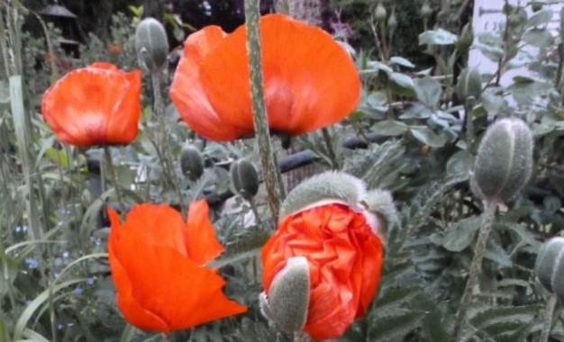 'In Flanders Fields': a history of the poppy
